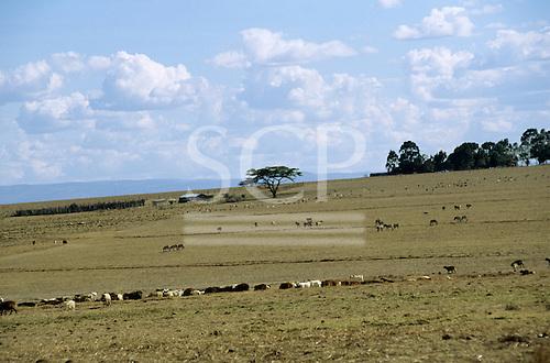 Near Nairobi, Kenya. Herds of wildebeest (gnu, Connochaetes taurinus) and domestic cattle on overgrazed plains.
