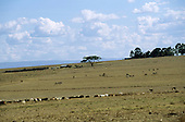 Near Nairobi, Kenya. Herds of wildebeest (gnu, Connochaetes taurinus) and domestic cattle on overgrazed plains.