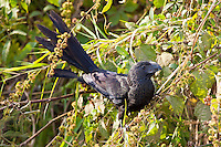 Groove-Billed Ani, Teacapan, Mexico