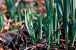 A87DG8 Wild woodland daffodils Suffolk England