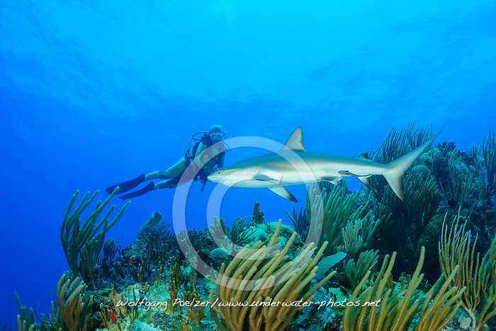 Carcharhinus perezi, Karibischer Riffhai in Kroallenriff und Taucher, Caribbean reef shark in Coralreef and scuba diver, Insel Cooper, Britische Jungferninsel, Karibik, Karibisches Meer, Cooper Island, British Virgin Islands, BVI, Caribbean Sea
