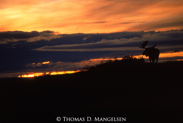 A moose silhouetted at sunset in Denali National Park, Alaska.