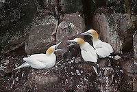 35-B04-GN-115    NORTHERN GANNETS (Sula bassanus) adults bickering in breeding colony, Cape St. Mary's Ecological Reserve, Newfoundland, Canada.