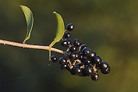 Common Privet, Lugustrum vulgare, fruit, Unterlunkhofen, Switzerland, August 2006