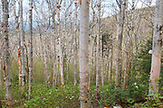 Birch forest on the side of Mount Hale along the abandoned Fire Warden's Trail in the New Hampshire White Mountains. Even though the Fire Warden's Trail is considered to be an abandoned hiking trail hikers use it regularly to ascend Mount Hale.