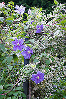 Clematis ' Perle d'Azur' blue flowered vine with variegated Euonymus fortunei Silver Queen shrub, two climbing plant vines together