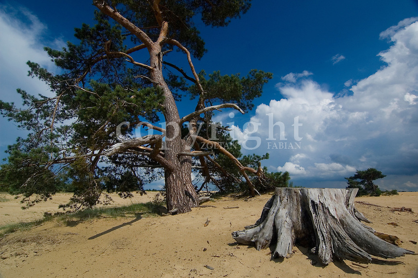 Dead and live trees in sand in the Hoge Veluwe National Park, Netherlands, Europe