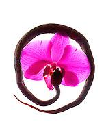 Lance de Fer & Orchid