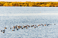 US, Florida, Merritt Island National Wildlife Refuge, Black Point Wildlife Drive. Greater Scaup.