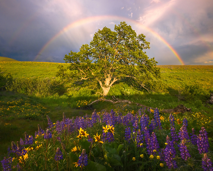 A beautiful double rainbow forms in the valley of the Columbia Hills on the edge of a storm front, framed by a bloom of wildflowers.<br />