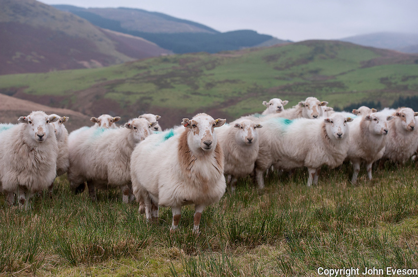 Welsh Mountain sheep, Ponterwyd, Ceredigion, in the Cambrian Mountains of Mid Wales.