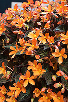 Begonia 'Glowing Embers'