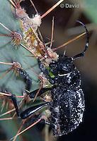 0412-1103  Cactus Longhorn Beetle, Feeding on Cactus, Moneilema gigas  © David Kuhn/Dwight Kuhn Photography