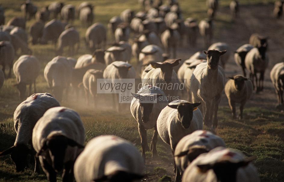 Europe/France/Normandie/Basse-Normandie/50/Manche/Baie du Mont Saint-Michel: Philippe Farcy (berger) ramène ses moutons de pré salé