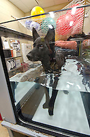 Retired military dog, Maci, undergoes therapy while using the underwater treadmill. The College of Veterinary Medicine class of 2018 created the Vets for Vets program to provide free rehabilitative care for retired military dogs.