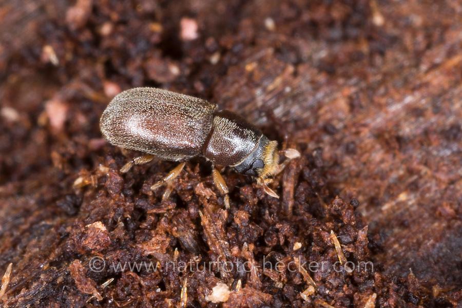 Doppeläugiger Fichtenbastkäfer, Doppeläugiger Fichten-Bastkäfer, Städteschreiber, an Fichte, Rotfichte, Polygraphus poligraphus, Polygraphus polygraphus, small spruce bark beetle