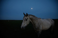 Appearing like a ghost-like apparition, a gray horse in a full moon in South Dakota. <br /> White Sands herd of wild horses at International society for the Protection of Mustangs and Burros. Three herds are  cared for at the oldest wild horse organization founded in 1960.  <br /> <br /> Karen Sussman is the third president, . Wild Horse Annie, Velma Johnston, was the first. Annie, along with Helen Reilly worked together for the passage of the 1971 Wild Horses and Burros Act to protect horses from slaughter and inhumane treatment.