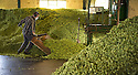 05/09/14 <br /> <br /> <br /> <br /> Thanks to ideal growing conditions over the summer, Britain's hop harvest is set to be a bumper crop.<br /> <br /> Picking stopped early yesterday at Stocks Farm, Worcestershire, as the 'Heath Robinson' style 1962 Bruff hop picking machine was overwhelmed by the volume of hops coming in from the 100 acres of hops the farm grows.<br /> <br /> The golding hops are the first to picked this year from the bines that are strung up on a total of 550 miles of twine that stretch across the farmland near the Malvern Hills. &quot;That's enough to make 46m pints of craft ale&quot; said farmer and hop expert Ali Capper.<br /> <br /> The farm grows a variety of hops supplying national brewers including Fullers, Greene King, St Austell and Marston's, and hundreds of craft breweries and brewers in the UK and USA.<br /> <br /> &quot;We've had perfect growing conditions this year, a lovely warm summer and even rainfall. The whole crop is looking wonderful and the aromas are much better than last year,<br /> <br /> &quot;It should be a bumper crop - but we can't be sure until it's all in&quot;<br /> <br /> &quot;The demand from small brewers is rising each year&quot; added Ali<br /> <br /> &quot;This year we'll be selling 100 gram bags for home brewers too - that's enough to brew at least 20 pints. <br /> <br /> In 2013 almost half of all British hops were exported to to the USA - and this figure is still rising&quot; she said.<br /> <br /> All Rights Reserved - F Stop Press.  www.fstoppress.com. Tel: +44 (0)1335 300098