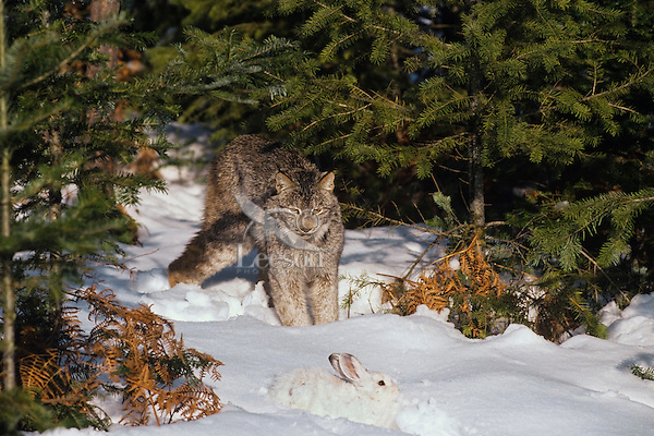 Lynx (Lynx canadensis) stalking snowshoe hare.