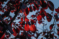 Autumn red leaves glow, backlit by the late afternoon sun.