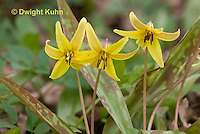 LL03-501z Trout Lily - Dogtooth violet - Erythronium americanum.
