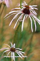 63821-05315 Pale Purple Coneflowers (Echinacea pallida) in garden, Marion Co.  IL