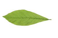 Mispel, Echte Mispel, Mespilus germanica, Medlar, Néflier commun. Blatt, Blätter, leaf, leaves
