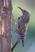 Red-shafted Northern Flicker at nest cavity; Malheur National Wildlife Refuge, Oregon