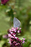Holly Blue Butterfly, Celastrina argiolus, Queensdown Warren, Kent Wildlife Trust, UK, nectaring on flowers