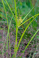 Nut Sedge and Panicum (Sp.) Grass grow along the trail at the West Beach Unit of Indiana Dunes National Lakeshore in Porter County, Indiana