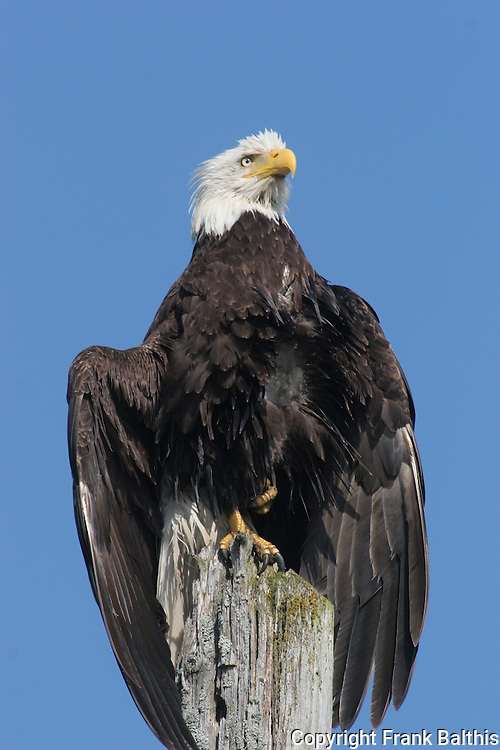 bald eagle drying wings on pole