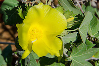 The native Hawaiian flowering plant Ma'o is cotton-producing and endemic to the Hawaiian islands. It is found in dry forest and coastal areas.
