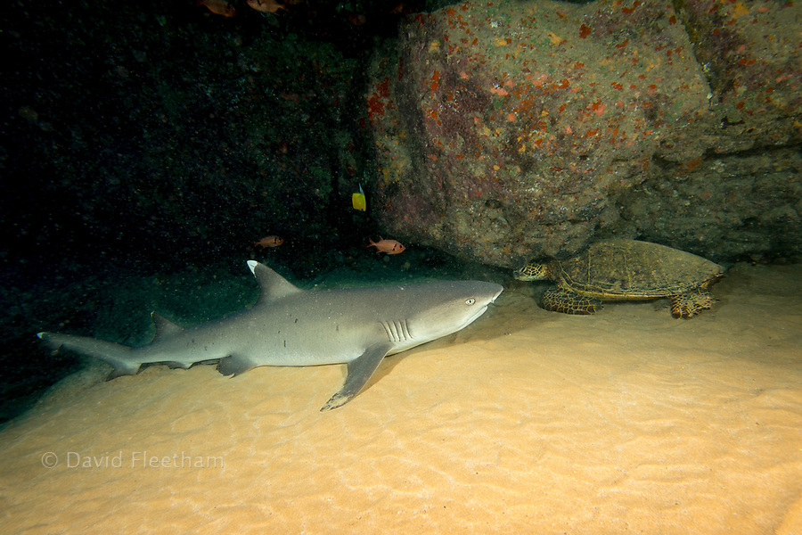 A whitetip reef shark, Triaenodon obesus, and a green sea turtle, Chelonia mydas, share an underwater cavern off of Maui, Hawaii.