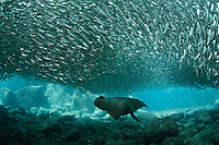 QT7338-D. California Sea Lion (Zalophus californianus) swimming under school of Bigeye Scad (Selar crumenophthalmus), upon which it's feeding. Baja, Mexico, Sea of Cortez, Pacific Ocean.<br /> Photo Copyright &copy; Brandon Cole. All rights reserved worldwide.  www.brandoncole.com