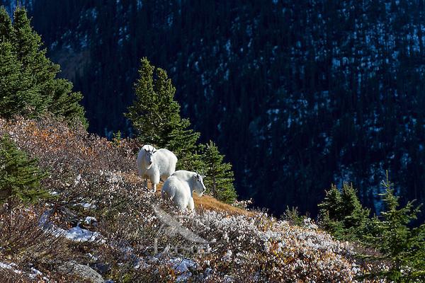 Mountain goat (Oreamnos americanus) billies in subalpine habitat, Northern Rockies, October.