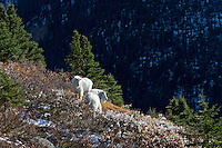 Mountain goat (Oreamnos americanus) billies in subalpine habitat, Northern Rockies, October.