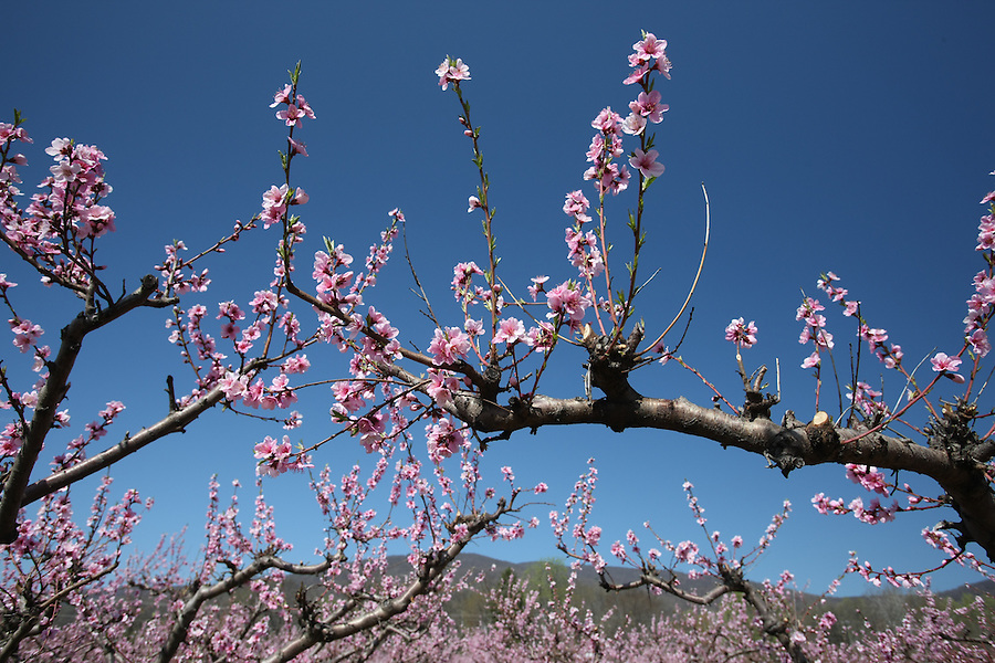 Peach blossoms at Chiles orchard in Crozet, Va.