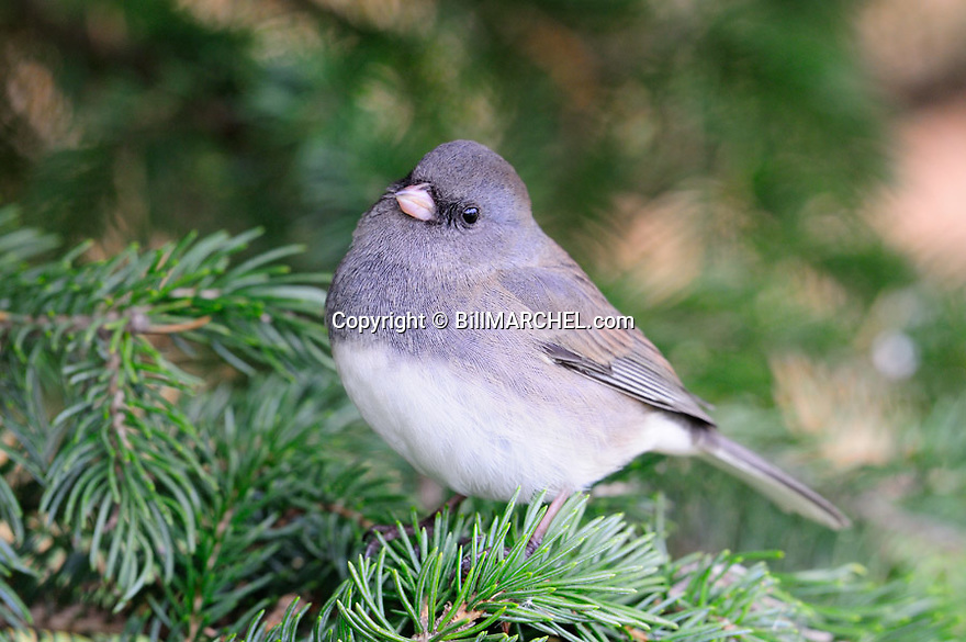 00697-010.09 Dark-eyed Junco is perched in a spruce tree. Backyard, cover, lanscape, evergreen.