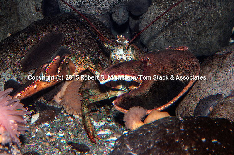 American lobster facing camera.  This specimen weights about 20 pounds