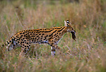 Serval with rodent catch, Ngorongoro Conservation Area, Tanzania