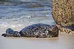 Children's Pool, La Jolla, California; a mother Harbor Seal (Phoca vitulina) and her pup emerge from the shallow water and onto the sandy beach