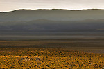 Vicuna (Vicugna vicugna) group in dry puna grassland, Abra Granada, Andes, northwestern Argentina