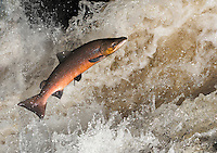 Salmon - Salmo salar Length to 150cm. Large and distinctive fish. Found in open seas for much of life, but migrates into freshwater to spawn. Adult has streamlined, powerfully muscular body. At sea, silver-grey above, silvery-white below, with dark spots on back and flanks; spawning individuals become duller and more yellow. Widespread and locally, and seasonally, fairly common, least so in E and SE.