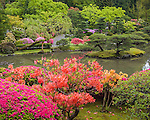 Seattle, WA: Orange and fuschia azaleas bloom in spring from the upper hillside overlooking the lake of the Japanese Garden in Washington Park Arboretum