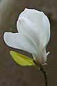 Star magnolia (Magnolia stellata), late March. Originally from Japan.