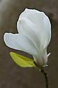 Star magnolia (Magnolia stellata), late March. Originally from Japan.