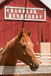 Horse portrait at a red barn built in the early 1900s at the sixth-generation run Chandler Ranch Herefords near Baker City, Ore.