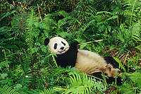Giant Panda eating bamboo at Wolong Nature Reserve in central China.