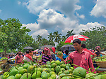 A set of aerial photos show the hustle and bustle of the world's largest mango market.  Buyers and sellers mingle together as they haggle to get the best price for the bright green fruit.<br /> <br /> The images show Kansat Mango Market in Shibganj Upazila, 15 miles from Chapainawabganj, in Bangladesh.  SEE OUR COPY FOR DETAILS.<br /> <br /> Please byline: Sujon Adhikary/Solent News<br /> <br /> © Sujon Adhikary/Solent News & Photo Agency<br /> UK +44 (0) 2380 458800