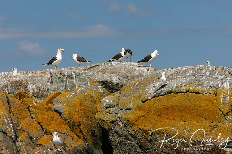 Roger Crowley / CrowleyPhotos.com   ..Seagulls are resting on rocks along the coast of maine near Georgetown...